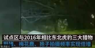 下班遇老虎驚恐對視30秒影片瘋傳 陸女嚇:好害怕