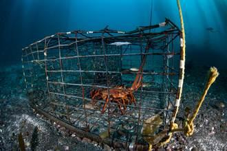澳龍蝦無法銷陸 意外讓一處漁民從谷底翻身