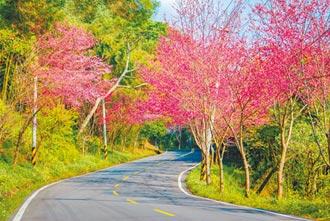 北橫櫻花接力賽 粉紅到3月