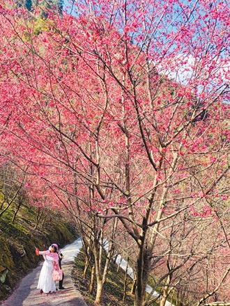 信義鄉賞櫻祕境望高寮 花期到3月