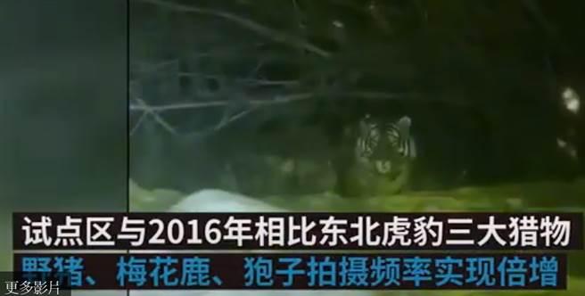 女子下班路上遇老虎驚恐對視,30秒影片瘋傳