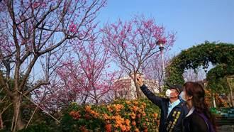 好天氣來賞花 鶯歌「花朵公園」春櫻盛開 民眾搶拍
