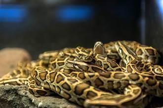 勇男與72毒蛇同居3天 眾人全賭他恐被咬死 下場出乎意料
