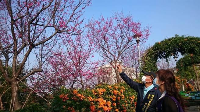 新北市鶯歌區永吉公園的橙黃炮仗花、粉嫩櫻花接連綻放,吸引民眾搶拍。(圖由鶯歌區公所提供)