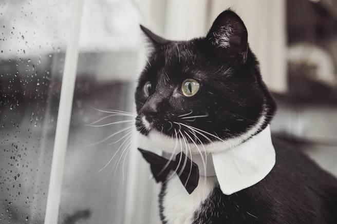 賓士貓不像普通貓咪,竟然喜歡用雙腳站立,讓人看了驚呼連連,甚至指牠就像是一隻企鵝。(示意圖/達志影像)