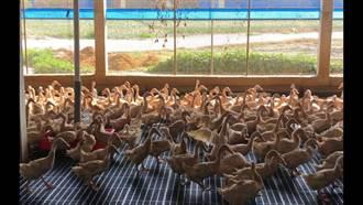 水禽防疫勿輕忽 推廣活用蛋鴨料理現新商機