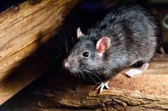 上百隻老鼠大暴走 深夜出沒橫行馬路 居民目擊全嚇傻