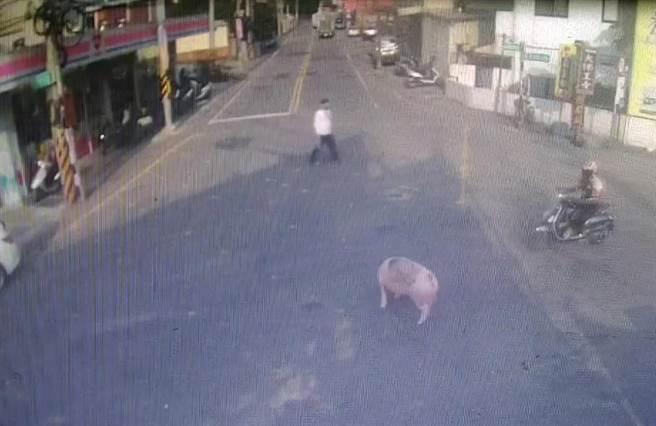 被留下的豬很淡定的看似在馬路上找草吃。(翻攝照片/莊旻靜新竹傳真)