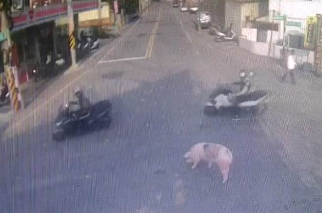 機車騎士看到馬路上有豬,也很淡定的騎過。(翻攝照片/莊旻靜新竹傳真)