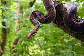 2M蟒蛇倒掛樹上吞肥鴿 再次霸氣出擊結局神展開