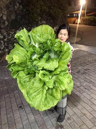 比人還大!阿嬤種的長年菜尺寸超狂 網驚:吃到明年除夕
