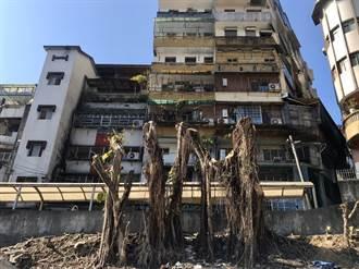 影響民宅地基、親子館工程 基隆信義50年老樹何去何從?