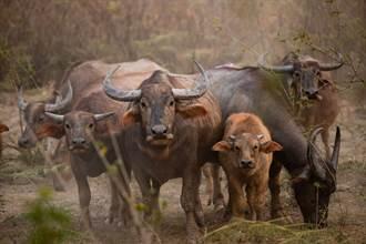 水牛寶寶遇危機親戚朋友全出動 圍攻花豹結局太意外