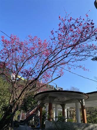 基隆中正公園下起櫻花雨 一片粉紅好浪漫