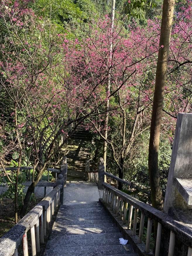 基隆市中正區中正公園櫻花盛開。(讀者提供/陳彩玲基隆傳真)