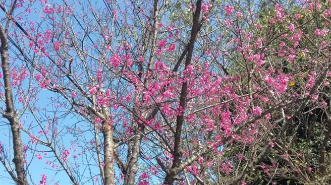 今年基隆各地櫻花樹綻放狀況良好。(讀者提供/陳彩玲基隆傳真)