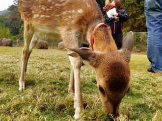 嘉義逐鹿社區鹿園取得展演許可 春節開放遊客餵食