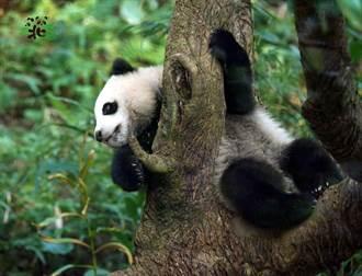 圓寶突破熊生高峰 得意掛樹上4小時 被騙下來一臉不甘願