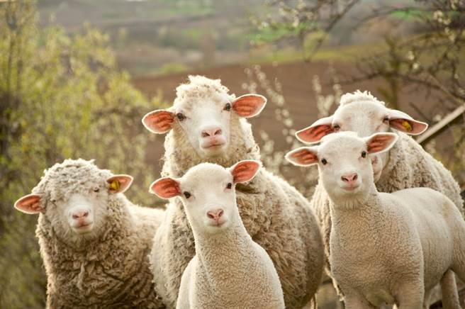 綿羊荷普以為自己是狗,每天追著家中牧羊犬跑,畫面非常有趣,主人看了也直呼「角色互換啊」。(示意圖/達志影像)