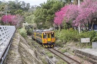 竹縣山區櫻花盛開 春遊搭大眾運輸免塞車