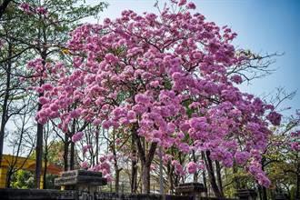 嘉義市粉嫩嫩!洋紅風鈴木盛開 春節來嘉粉浪漫