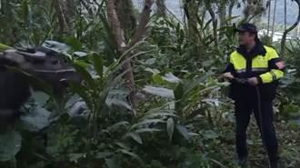 頑皮水牛「阿水」逃家找到了 花蓮警安撫、嫩草引誘終返家