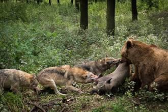 棕熊被5狼盯上勝算渺茫 死裡逃生鬥智過程科學家驚呆