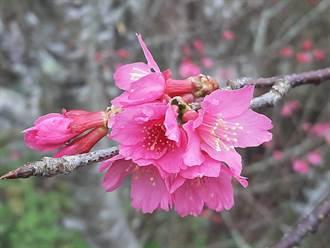 台南也有賞櫻熱點 梅嶺櫻花季登場