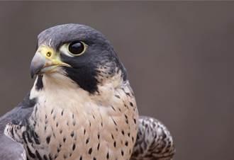 世上飛最快的鳥 遊隼俯衝時速390公里 抓到鸚鵡回巢支解