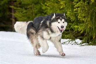 極地版爆胎 雪橇犬跑到引擎過熱罷工 雪地裡玩嗨等冷卻