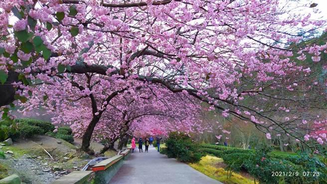 武陵農場山櫻花已全開,場內兆豐茶園的昭和櫻及紅粉佳人也偷跑,許多遊客搶先在年前上山賞櫻。(武陵農場提供/陳淑娥台中傳真)