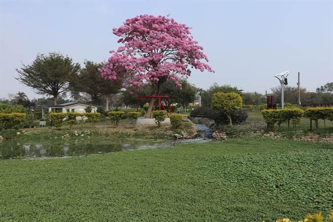 伊蓓風鈴木去年2月盛開時爆紅,但遊客今年來朝聖時,只見生態池被布袋蓮塞滿。(張毓翎攝)