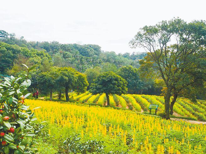桃園龍潭大北坑是全台最早種植魯冰花的地區,當花漸漸凋謝,其養分能回歸大地,讓茶樹來年更加茂盛。(龍潭區公所提供/黃婉婷桃園傳真)