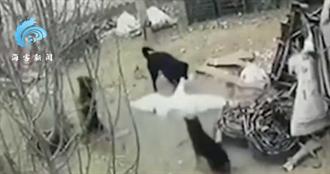 成群野狗闖農場圍攻大白鵝瘋狂撕咬 牠一打四霸氣趕跑