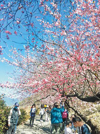 防疫 武陵、天元宮櫻花季祭管制