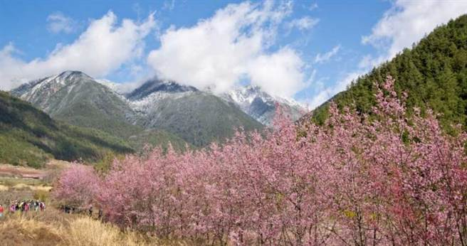 雄獅旅遊針對武陵農場賞櫻行程提供團體保證入園的服務,並且取得花季期間最稀缺的山上住宿名額。(圖/雄獅旅遊)