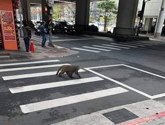 過年走春?猴子情人節現蹤台北街頭 動保處回應了