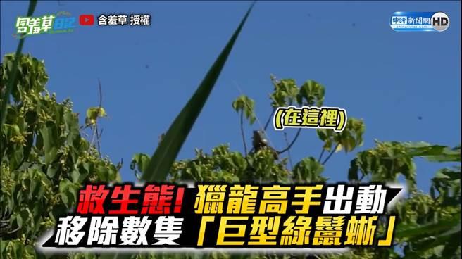 台灣成「酷斯拉」樂園?! 年產70顆蛋嚴重威脅生態