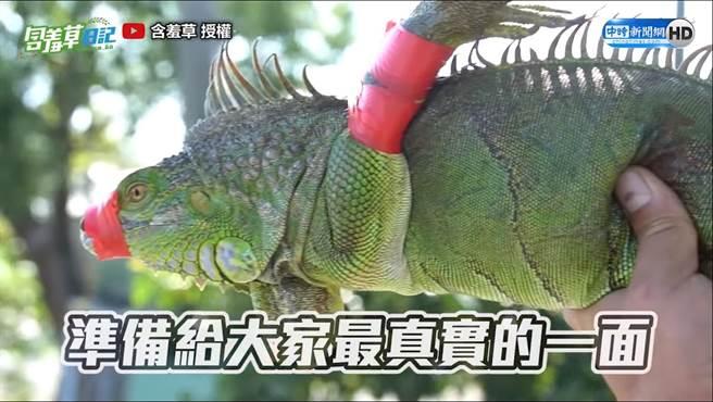 專家提醒綠鬃蜥可能有寄生蟲等危險請勿輕易食用