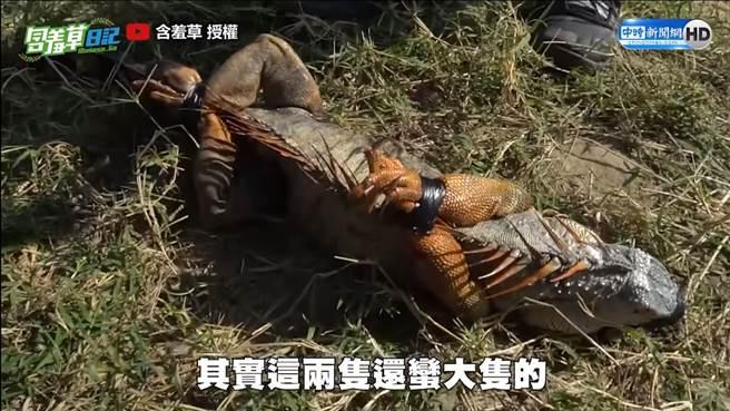 綠鬃蜥在爬蟲界體型較大,經常被暱稱為「酷斯拉」