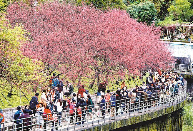 新春走春,各地人潮塞爆,防疫中心呼籲大家要保持社交距離。圖為台北東湖樂活公園滿開的八重櫻仍然吸引了許多的民眾前往賞櫻花。(鄭任南攝)