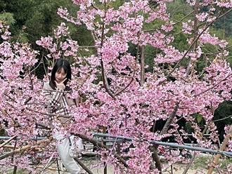 北橫櫻花季即將到來!拉拉山湧追櫻人潮 感受粉紅浪漫