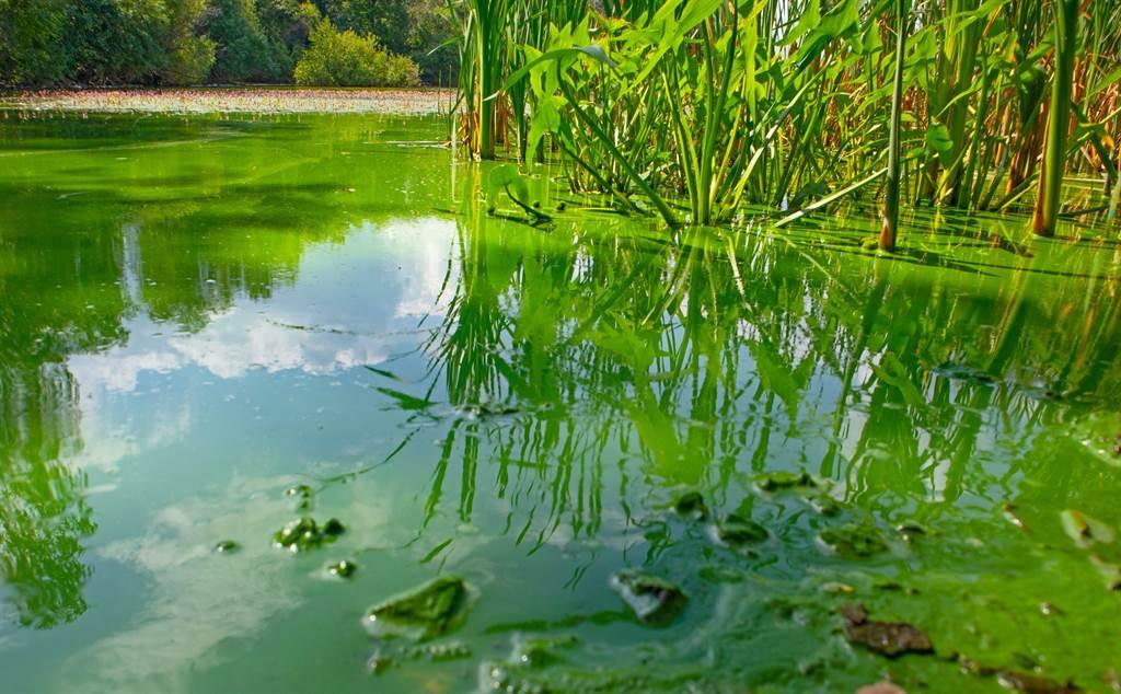 绿沼泽的绿色淤泥,就是大量的蓝绿菌集合体。图/earth.com(photo:ChinaTimes)
