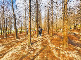 落羽松林絕美 另類異國風情