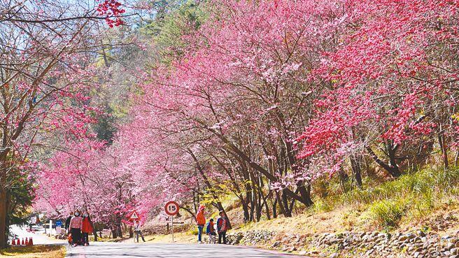 武陵農場特有花種「紅粉佳人」目前盛開中,,漫步樹下有種被幸福圍繞的感覺。(武陵農場提供/王文吉台中傳真)