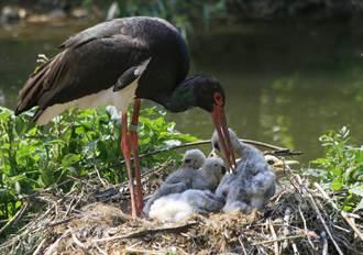 黑鸛媽叼親骨肉餵飢餓幼鳥 下秒竟張大口殘忍吞食