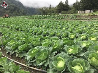 高麗菜量多價跌 農糧署:加強內外銷 暫不考量補助