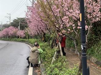 追櫻潮不斷!蘆竹大古山見櫻花步道