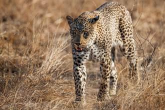 豹界之恥 兇猛金錢豹遇狗群秒慫 遭圍攻嚇到跳樹上