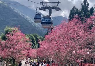 九族文化村櫻花開滿滿 賞花正逢時